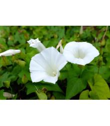 More about Kobea ťahavá biela - Cobaea scandens - semená - 0,5 g