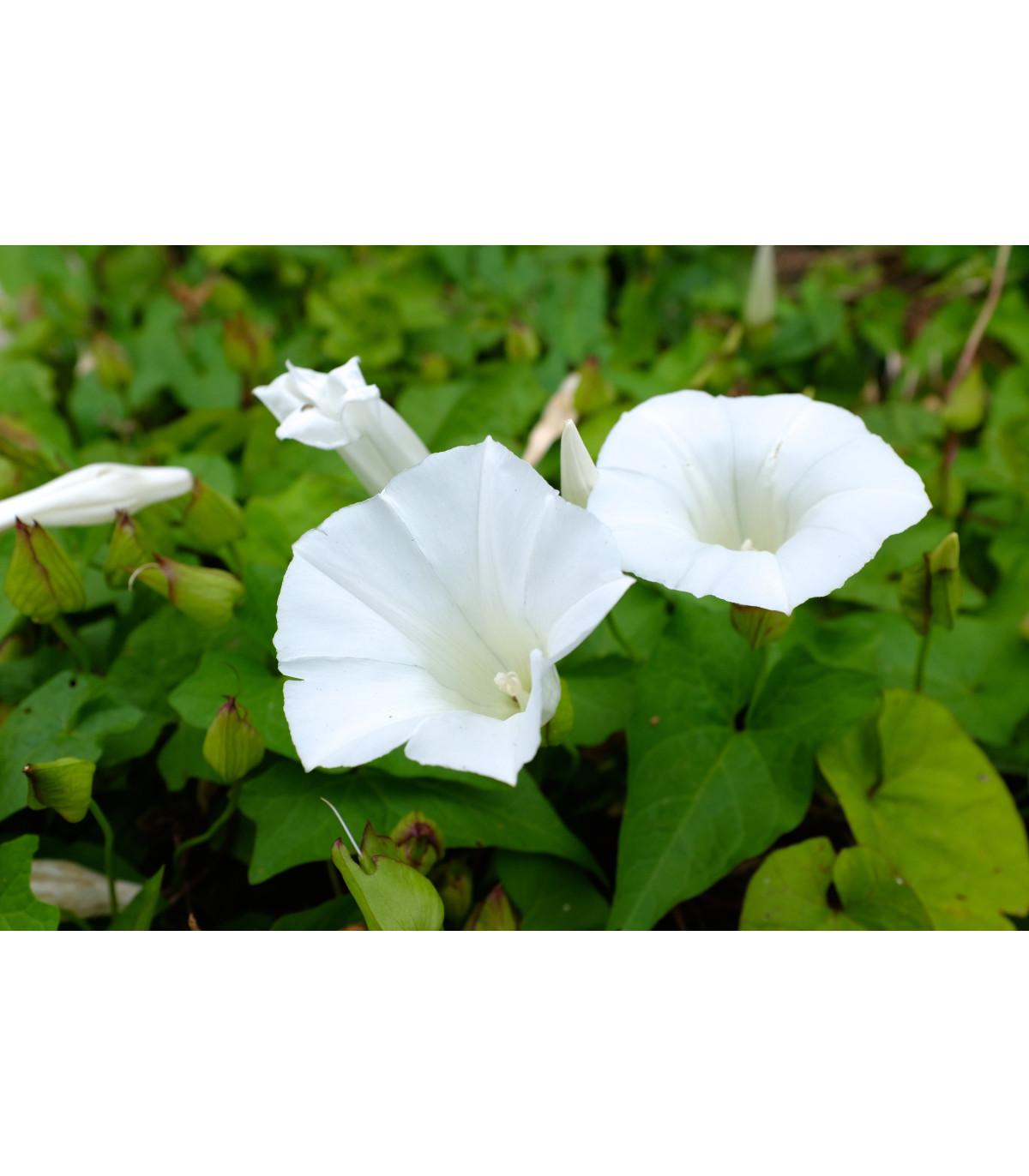 Kobea ťahavá biela - Cobaea scandens - semená kúpiť  - 0,5 gr
