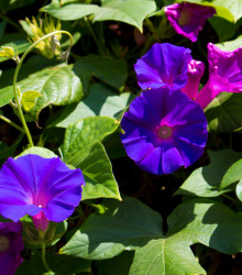 Povojník purpurový Kniolas Black - Ipomoea purpurea - semená - 20 ks