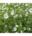 Slezovka trojklanná biela - Malope trifida - semená - 30 ks
