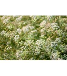 Rasca koreňová - Carum carvi - semená - 400 ks