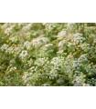 Kmín koreňový- Carum carvi- semená Kmínu- 1000ks