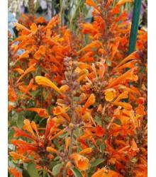 More about Agastache Apricot - Agastache aurantiaca - semená - 20 ks