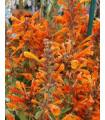 Agastache Apricot - Agastache aurantiaca - predaj semien - 20 Ks
