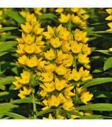 Čerkáč obyčajný - Lysimachia vulgaris - semená - 0,1 g
