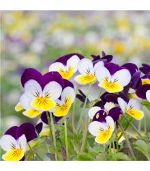 Fialka rohatá Miss Helen Mount - Viola cornuta - semená - 100 ks