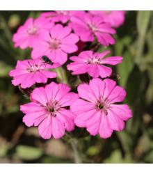 Kukučka alpská - Lychnis alpina - predaj semien trvaliek - 20 ks