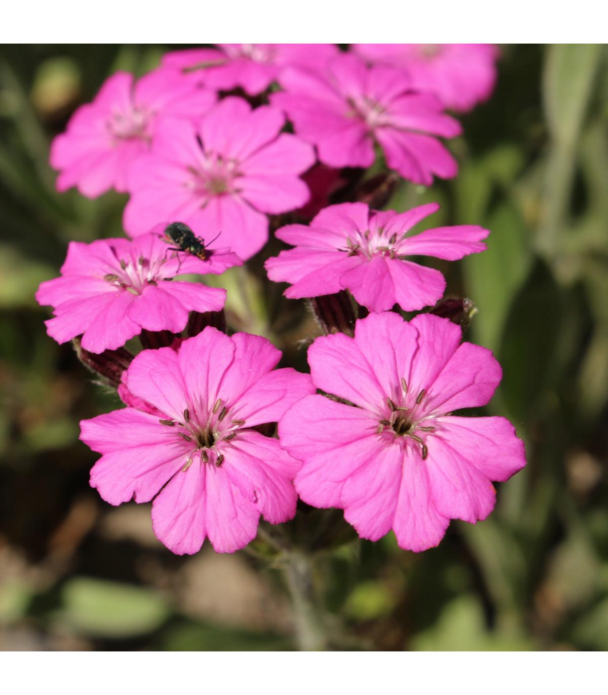 Kukučka alpská - Lychnis alpina - semená - 20 ks