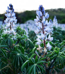 Lupina úzkolistá modrá - Lupinus angustifolia - semená - 20 ks