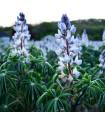 Lupina úzkolistá modrá - Lupinus angustifolia - 20 Ks