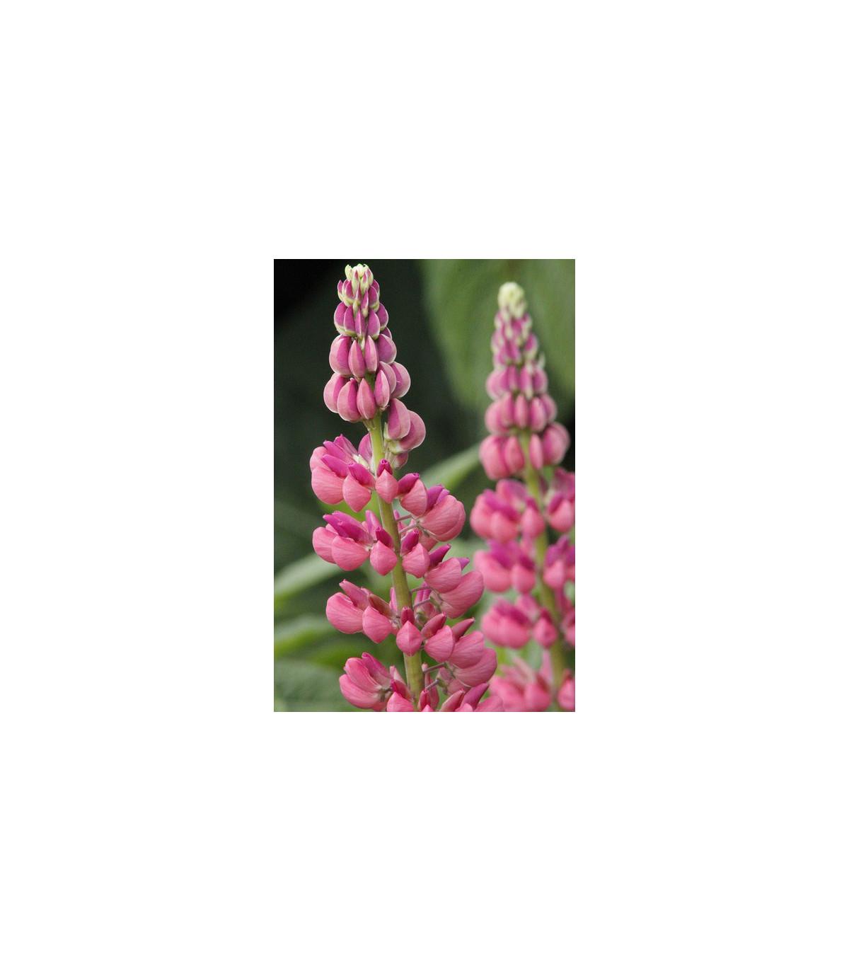 Vlčí bôb ružový - Lupina mnoholistá - Lupinus polyphyllus - semená vlčieho bôbu - 30 ks