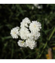 Rebríček Bertrámový Perla - Achillea ptarmica - predaj semien trvaliek - 0,1 g