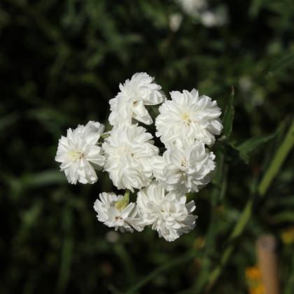 Rebríček bertrámový Perla - Achillea ptarmica - semená - 0,1 g