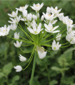 Okrasný cesnak - Allium neapolitanum - cibuľoviny - 3 ks