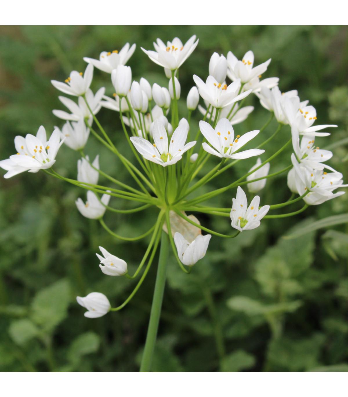 Cesnak okrasný - Allium neapolitanum - predaj cibuliek - 3 ks