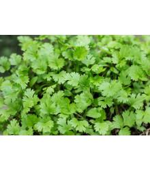 Koriander siaty - Coriandrum sativum - semená -100 ks