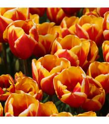 Tulipán Kees Nelis - predaj cibuľovín - holandské tulipány - 3 ks