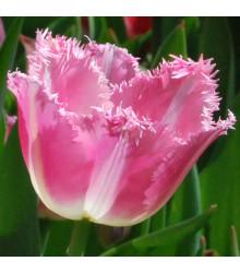 Tulipán Fancy Frills - predaj cibuľovín - holandské tulipány - 3 ks