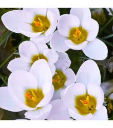 Krókus Ard Schenk - Crocus chrysanthus - cibuľoviny - 3 ks