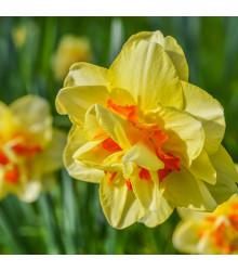 Narcis Tahiti - Narcissus Tahiti - cibuľoviny - 3 ks