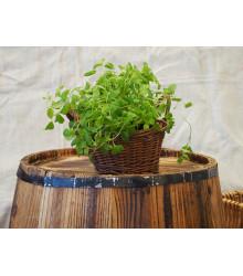 Majorán záhradný - Majorana hortensis - semená - 0,5 g