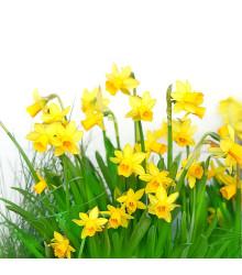Narcis Tete a Tete - Narcissus Tête-à-Tête - cibuľoviny - 3 ks