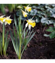 Narcis Topolino - Narcissus - cibuľoviny - 3 ks