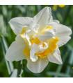Plnokveté narcisy - Narcis White Lion - predaj cibuľovín - narcisy - 3 ks