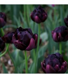 Tulipán Black Hero - Tulipa - cibuľoviny - 3 ks