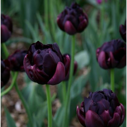 Tulipán Black Hero - predaj cibuľovín - holandské tulipány - 3 ks