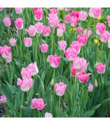 Tulipán Dynasty - Tulipa - cibuľoviny - 3 ks