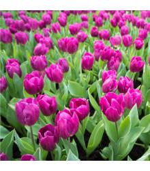 Tulipán Purple Flag - Tulipa - cibuľoviny - 3 ks