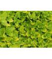Majoránka záhradná- Majorana hortensis- semená Majoránky- 1100 ks