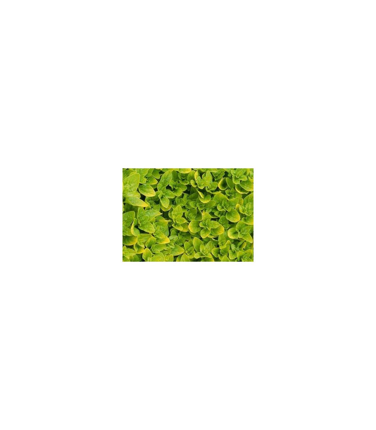 Majorán záhradný- Majorana hortensis- semená Majoránky- 1100 ks