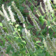 Yzop lekársky biely - Hyssopus officinalis - semená yzopu - 100 ks