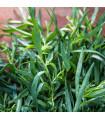 Palina dračia- Estragon- Artemisis dracunculus- semená- 500 ks