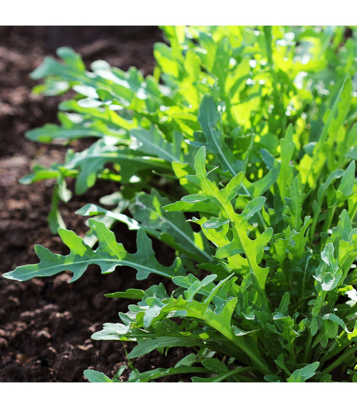 Rukola divoká Sprint - Eruca selvatica - semená - 0,2 g