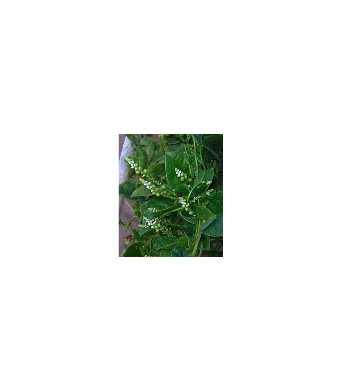 Malabarský špenát - Bazela biela - Basella alba - máloznáma zelenina - 0,5 gr
