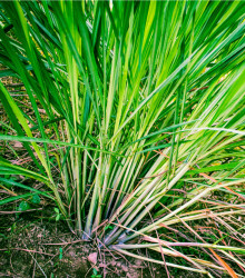 Citrónová tráva - Cymbopogon flexuosus - semená citrónovej trávy - 20 ks