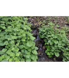 Mitrovka veľkokvetá - Tellima grandiflora - predaj semien - 0,02 g