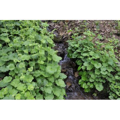 Mitrovka veľkokvetá - Tellima grandiflora - predaj semien - 20 Ks