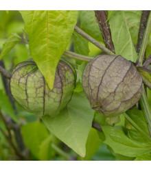 Machovka lepkavá - Physalis philadelphica - tomatillo - semená - 5 ks