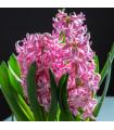 Hyacint Pink Pearl - Hyacinthus L. - cibuľoviny - 1 ks