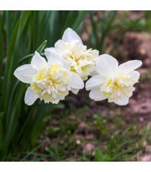 Narcis Ice King - predaj cibuľovín - plnokveté narcisy - 3 ks