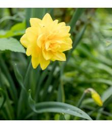 Narcis Golden Ducat - Narcissus Golden Ducat - cibuľoviny - 3 ks
