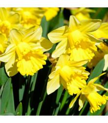 Narcis Goblet - predaj cibuľovín - plnokveté narcisy - 3 ks