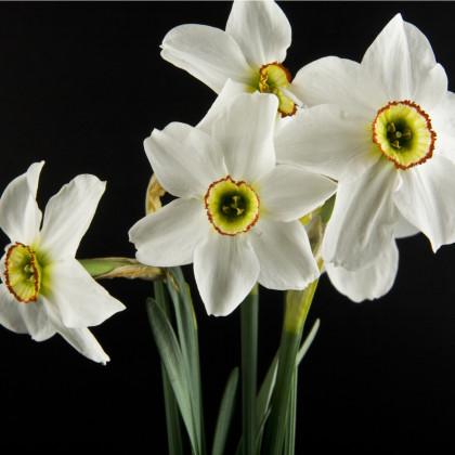 Narcis Recurvus - predaj cibuľovín - plnokveté narcisy - 3 ks
