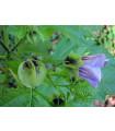 Lilík mochyňovitý- semena- 5 ks
