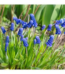 Modrica širokolistá - Muscari latifolium - cibuľoviny - 5 ks