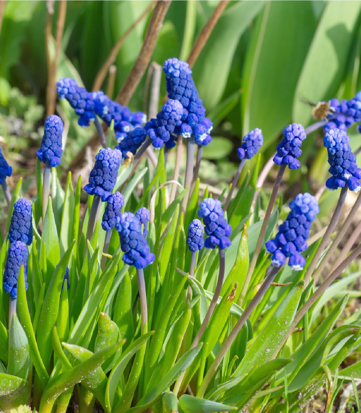 Modrica širokolistá - Muscari latifolium - predaj cibuľovín - 5 ks